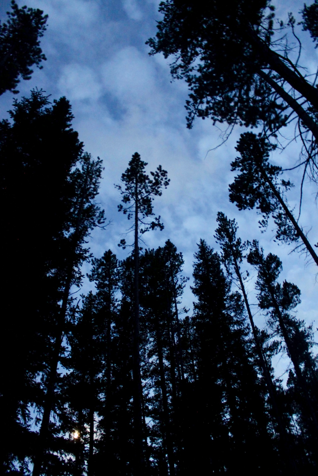 tall pines with the moon rising behind them