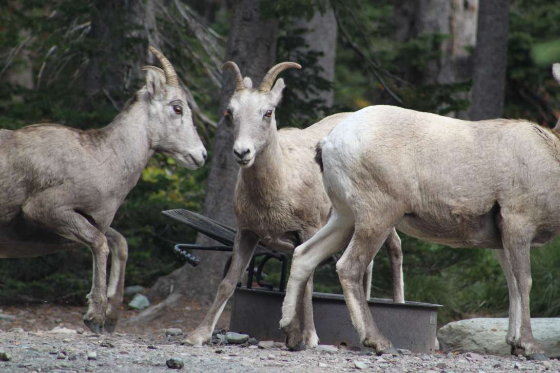bighorn sheep startle and begin to run